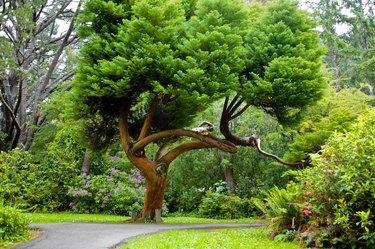 Red cedar tree shading a park in summer