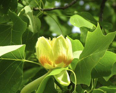 Tulip tree (Liriodendron)
