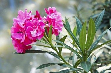 Sweet Oleander in the garden of thailand