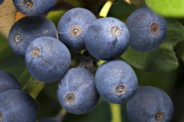 Blueberry Cluster Macro