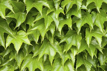 Boston ivy leaves perfectly covering wall; close-up version