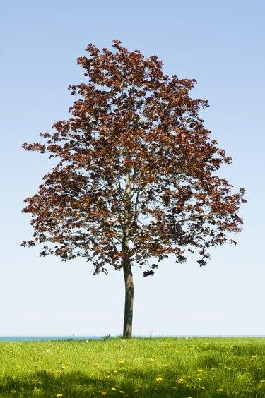 Lone Crimson Maple Tree