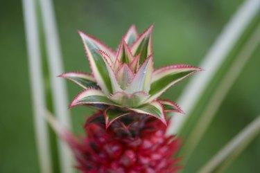 Pineapple plant close-up