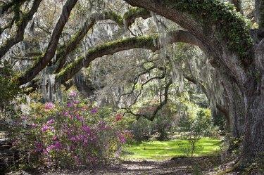 Sunshine filtering a spring scene of live oak trees