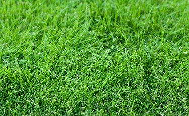 Young Fescue Grass