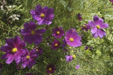 Purple pansies