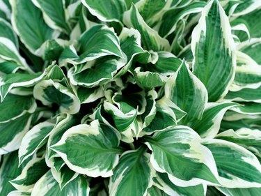 A close-up of a hosta plant