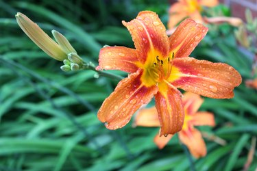 Tiger Lily and Buds
