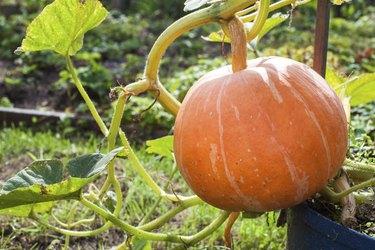 Pumpkin in the garden