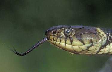 Grass snake, Natrix natrixx