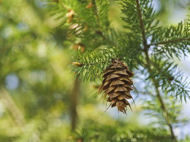 one open brown cone of green spruce. Forest backgrounds