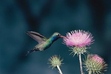 Close-up of a Broad-billed Hummingbird (Cynanthus latirostris)