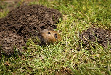 Gopher Peaking Out of Hole