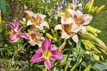 daylily light violet beautiful flowers postcard