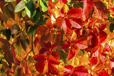 Red and orange leaves of a Virginia creeper in autumn