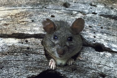 Rat peeking out of hole in wood