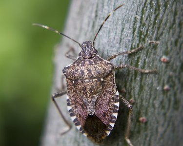 How to Get Rid of the Smell of a Stink Bug