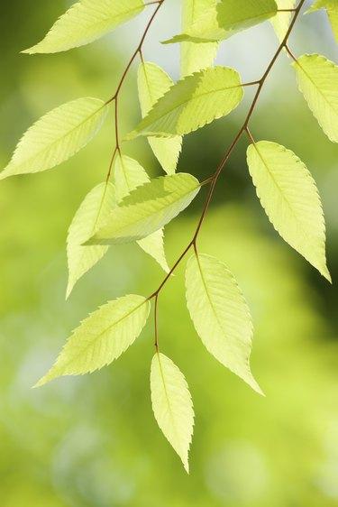 Zelkova tree-lined fresh green