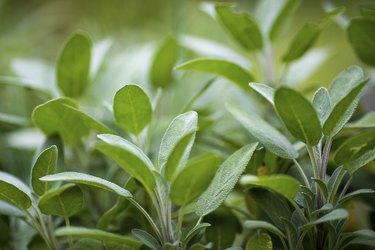 Sage Plants in an Herb Garden
