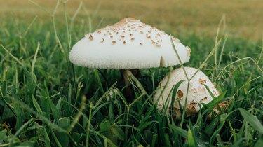 Mushrooms growing in long grass.