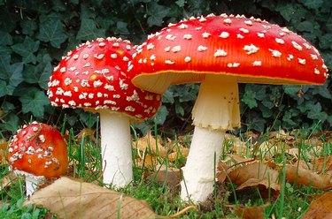 Fly Ageric mushroom