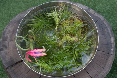 Soaking air plants.