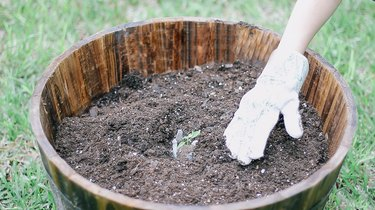 Planting a zucchini seedling in a barrel planter