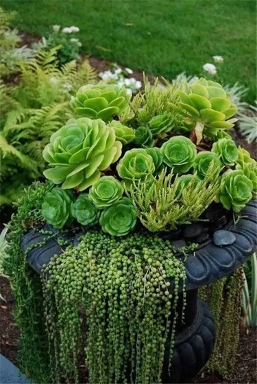 Green succulents cascading from repurposed birdbath