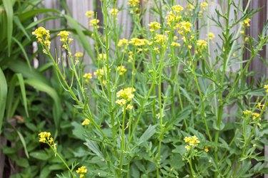 yellow mustard weed