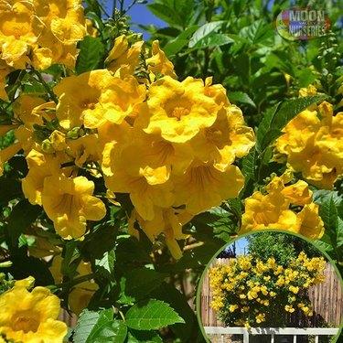 desert landscape plants Yellow bells (Tecoma stans)