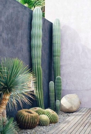 desert landscaping plants golden barrel cactus