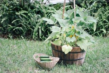 Zucchini in container