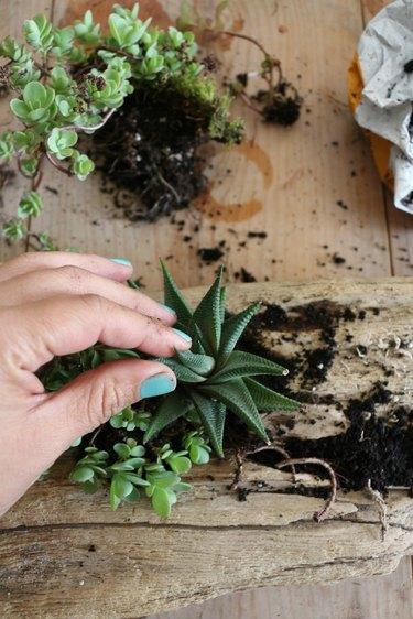 Place succulents into soil.