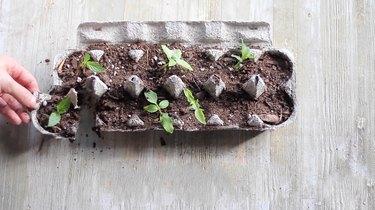 Cutting seedling cups apart on egg carton
