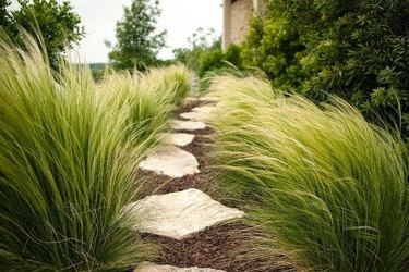 desert landscaping plants Mexican feather grass (Stipa tenuissima)
