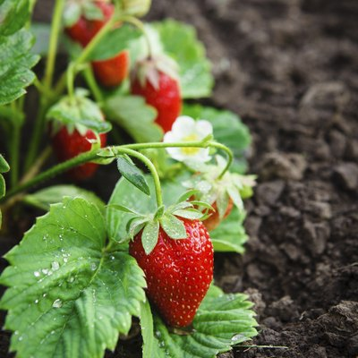 Safe, Natural Insecticides for Strawberries