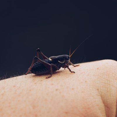 Cricket resting on a hand.