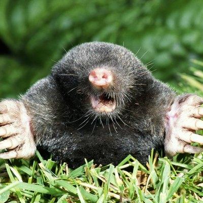 A mole surfacing.