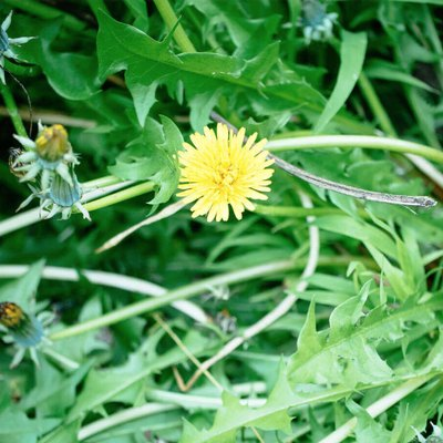 Common Lawn Weeds and How to Fight Them