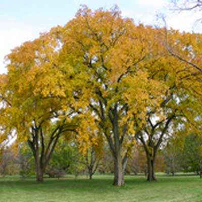 Can My Elm Tree Be Saved?