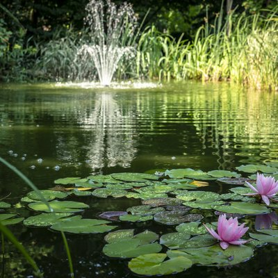 Two pink water lilies 'Marliacea Rosea'  in the foreground of the pond. Blurred cascade fountain in the background. Sunny day.