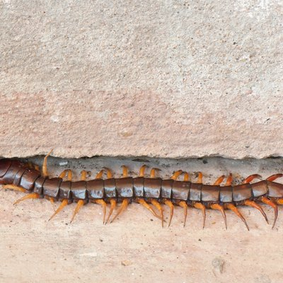 Pests weeds problems hunker for How to get rid of centipedes in my bathroom