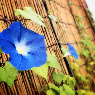 How to Care for Morning Glories