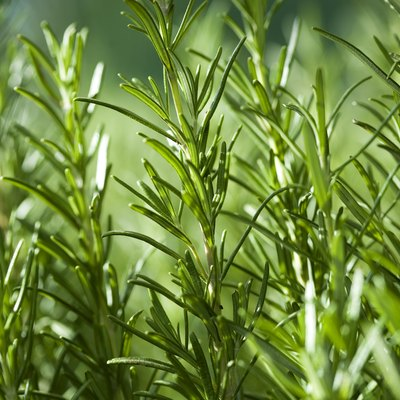 How to Care for Rosemary Plants