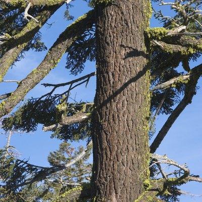 Is Pine a Hardwood?