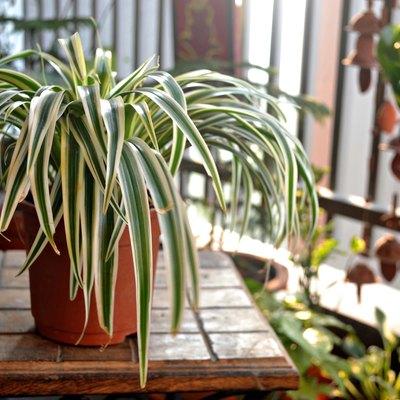 Spider plant-Home balcony-India
