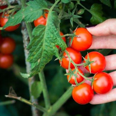 Picking cherry tomatoes