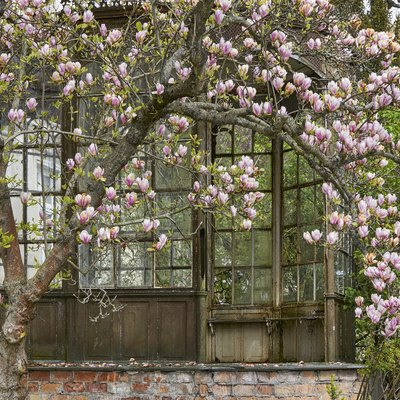 On a spring day within Mecklenburg Vorpommern, magnolia trees blossom with pink and white flowers.