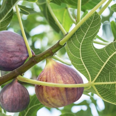 How To Grow A Fig Tree