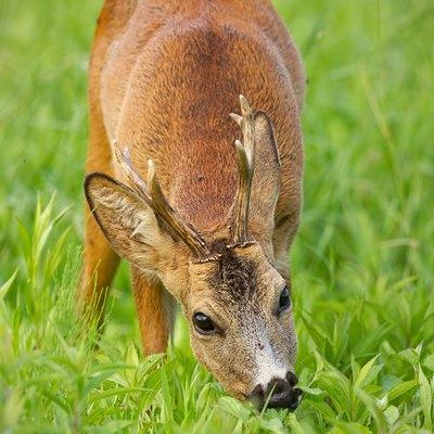 Roe deer buck peacefully grazing on green herbs in summer
